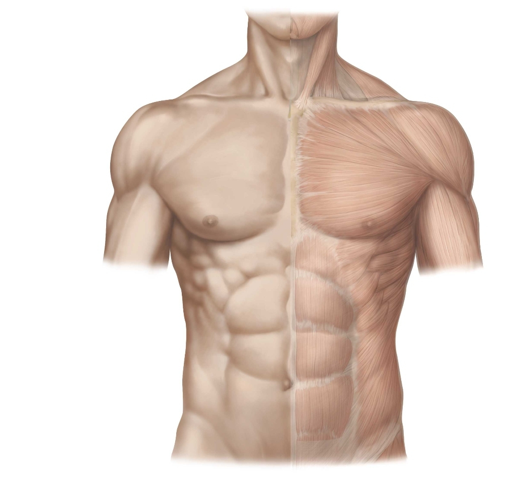 Пресс анатомия картинки