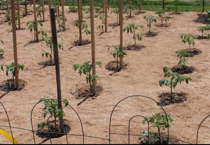 хвойные опилки в огороде польза или вред