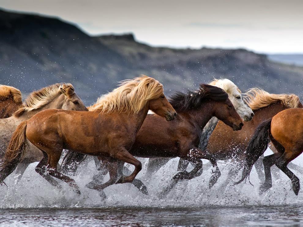 Бегущие лошади картинка