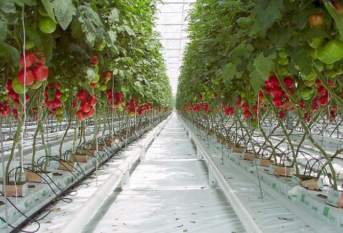 Гидропоника рассады томатов