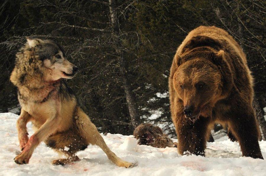 Медведь гризли и волк