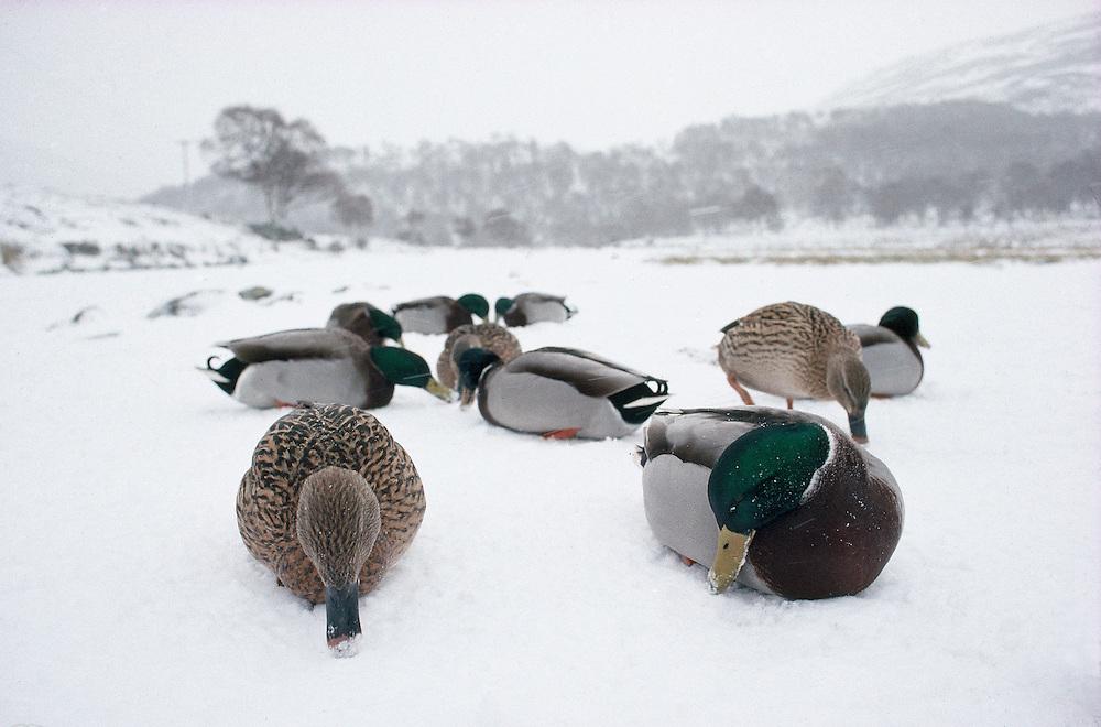 Куда летят утки на зиму