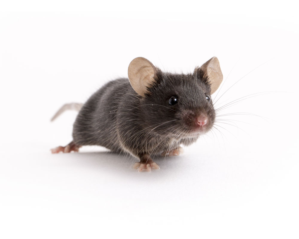 мышка японская картинка статья это опыт