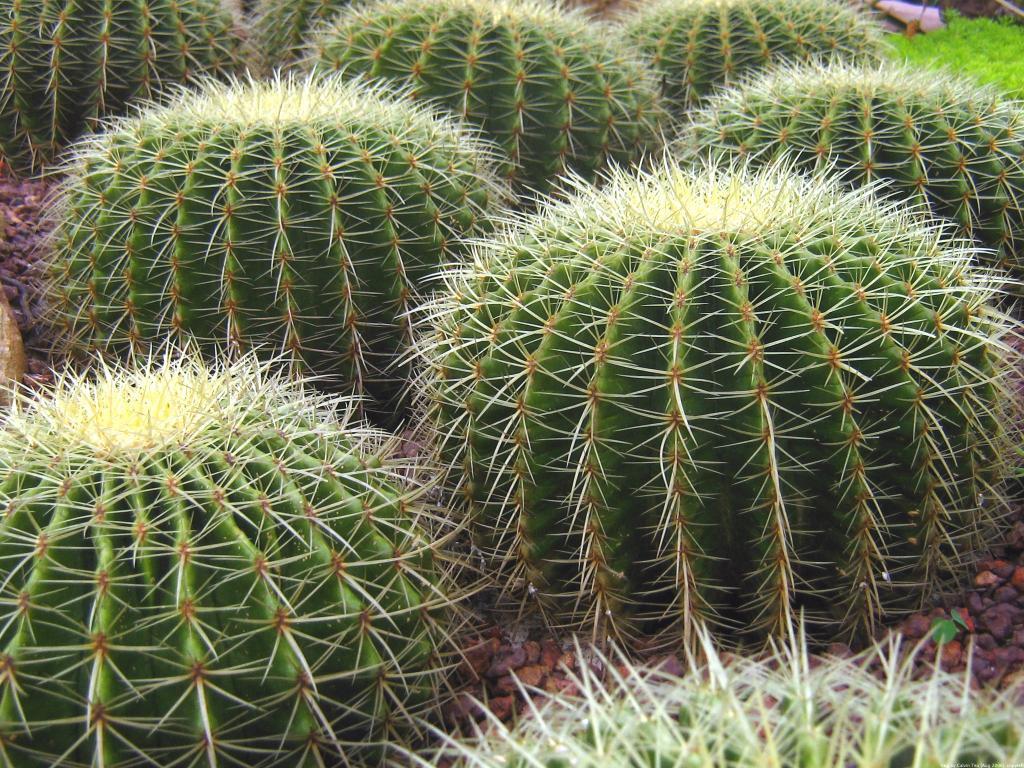 Растение похожее на колючку