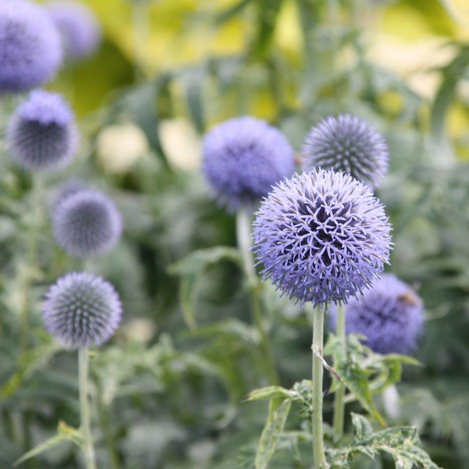 растение колючий цветок
