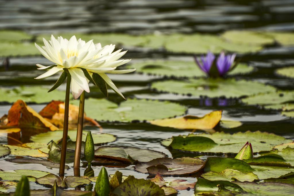 Красивый цветок лотоса