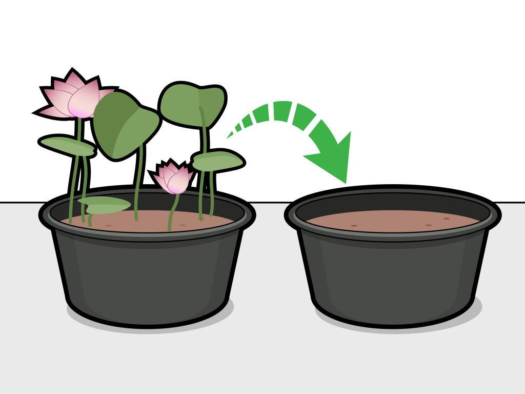 Как вырастить лотос