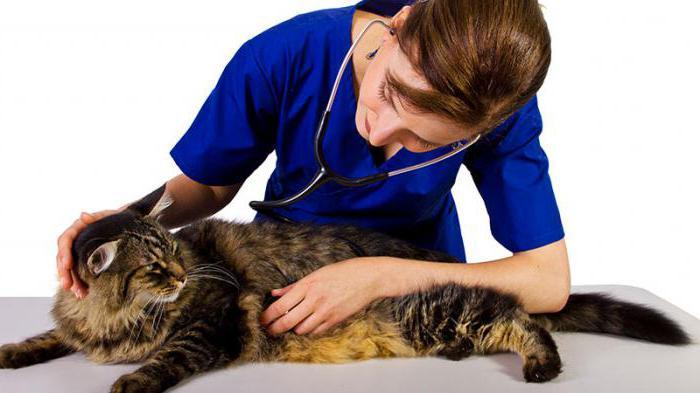 ринотрахеит у кошек Симптомы и лечение