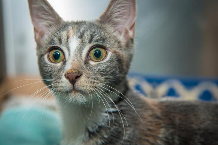 Лечение ринотрахеита у кошек в домашних условиях