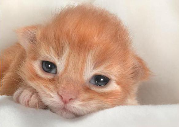 история болезни Инфекционный ринотрахеит у кошки