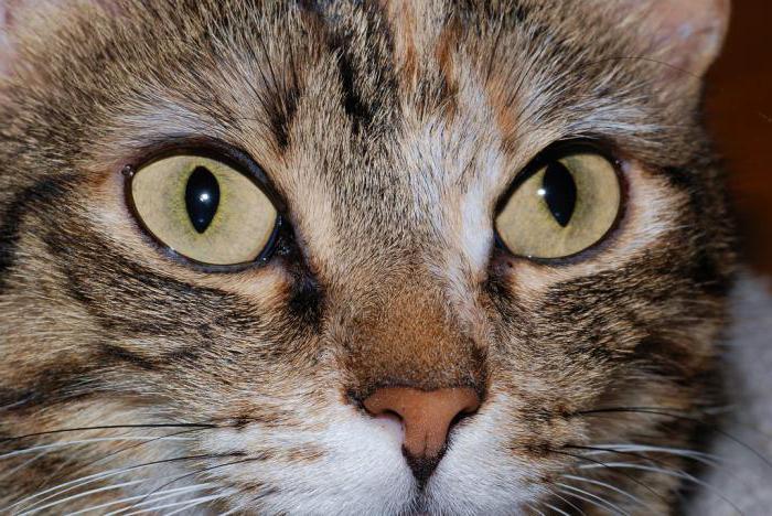 инфекционный ринотрахеит схема лечения кошек
