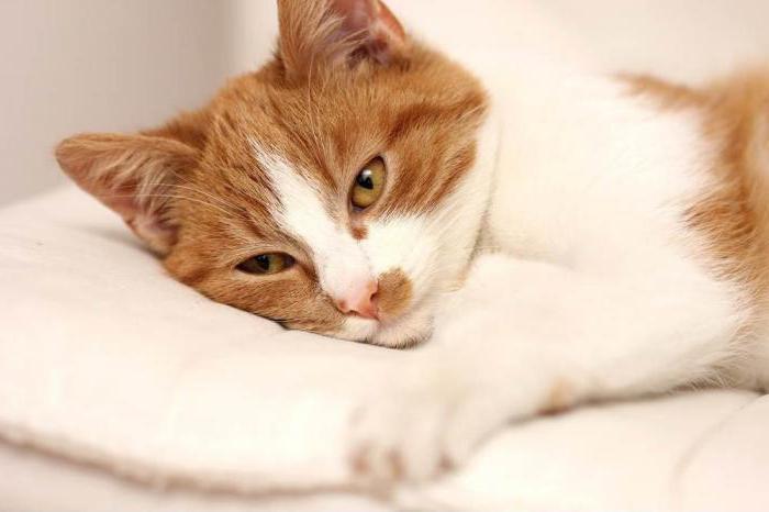 ринотрахеит кошек амоксиклав