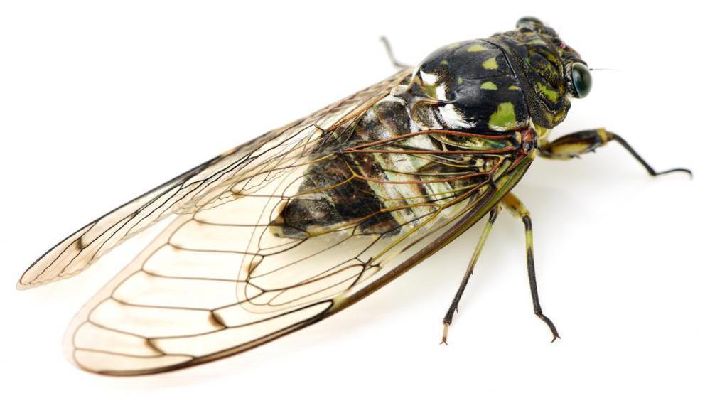 красавицы цикады