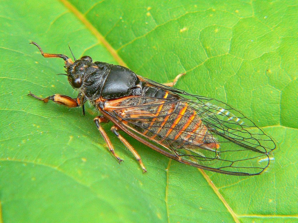 описание певчей цикады