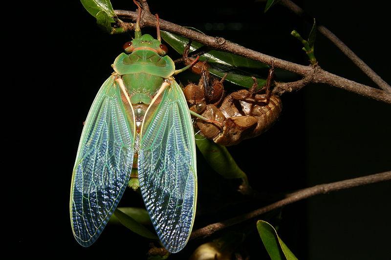 настоящие цикады