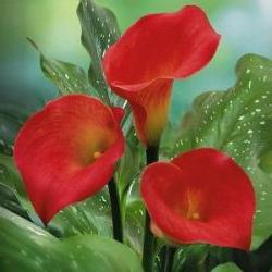 цветы каллы значение