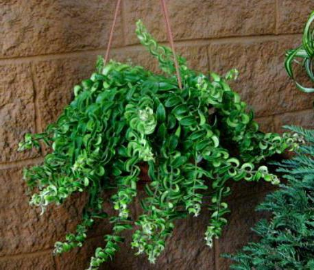 Комнатные цветы эсхинантус фото выращивание уход размножение 990