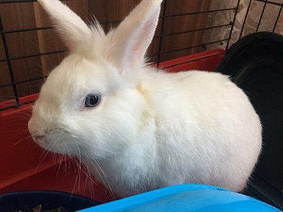 кролик гермелин фото
