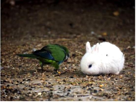кролики породы гермелин