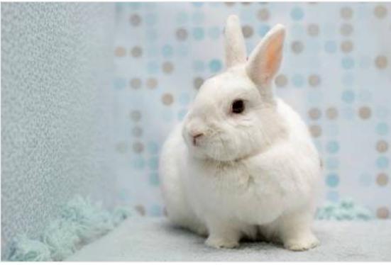 декоративные кролики гермелины