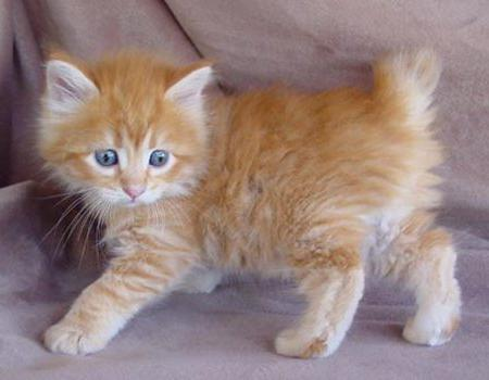 Кошки курильский бобтейл: характер, особенности породы, экстерьер, фото