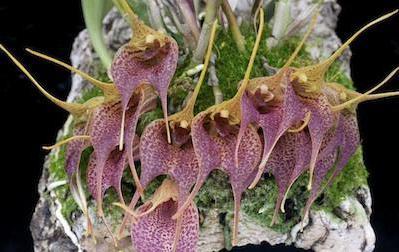Почему у орхидеи отпали бутоны