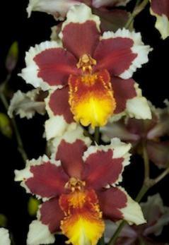 Почему у орхидеи опадают бутоны? У ...