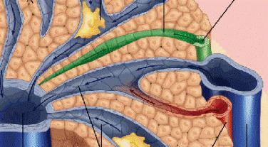 Гепатомегалия: диффузные изменения печени. Строение внутренних органов человека