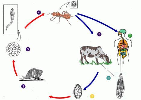 Ланцетовидный сосальщик: жизненный цикл, строение. Ланцетовидный сосальщик у человека: диагностика, профилактика