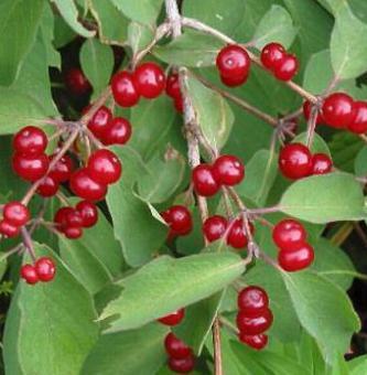 Сорта вишни фото с названием и описанием опылители