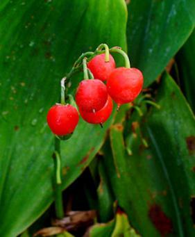 Красная лесная ягода