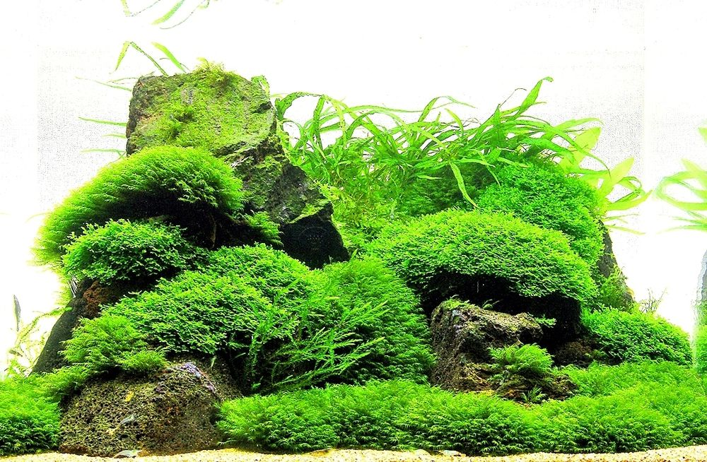 информация температуре мох в аквариуме виды фото легенде, пётр лично