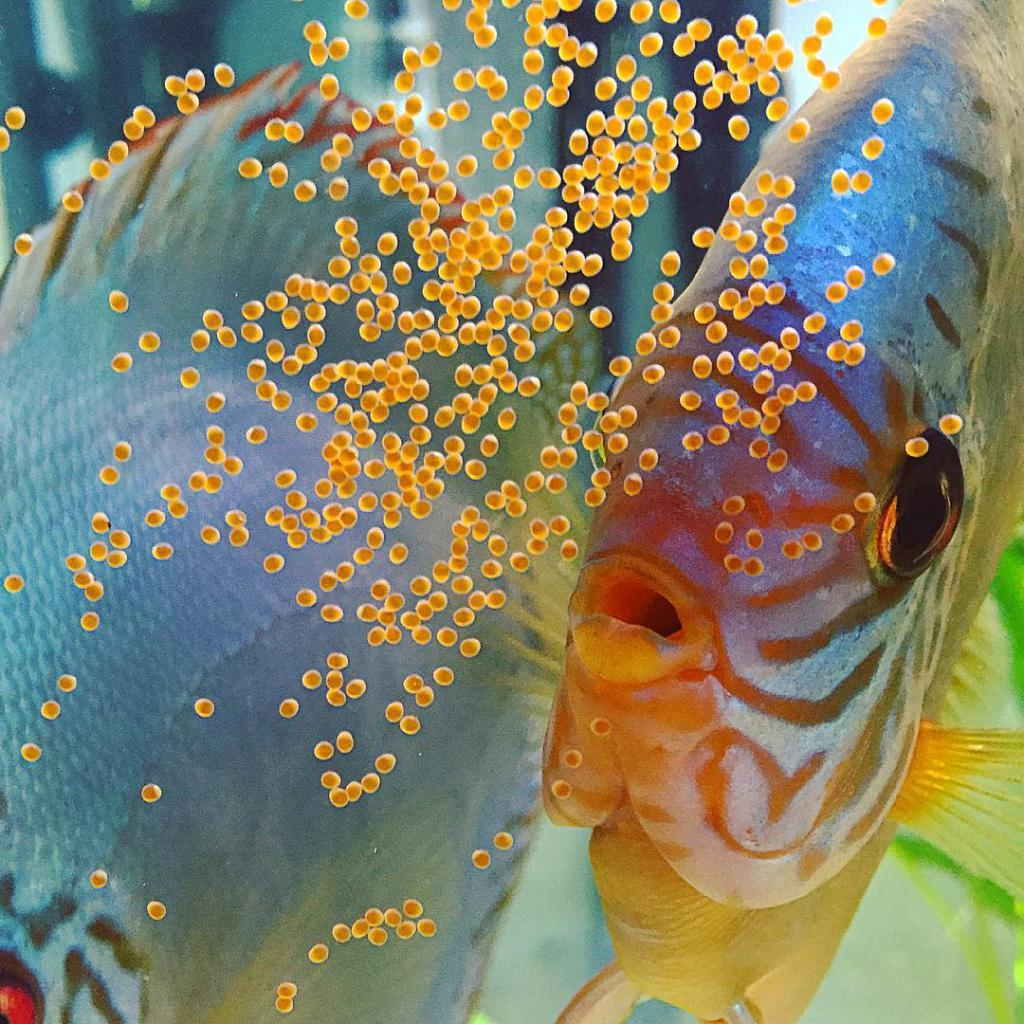 как выглядят оплодотворенные икринки у рыбок