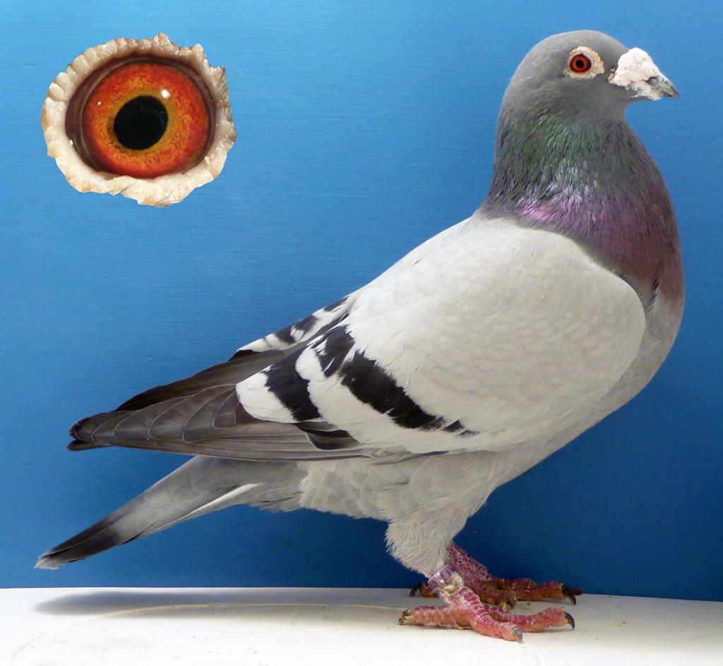 Спортивный голубь - многократный победитель соревнований