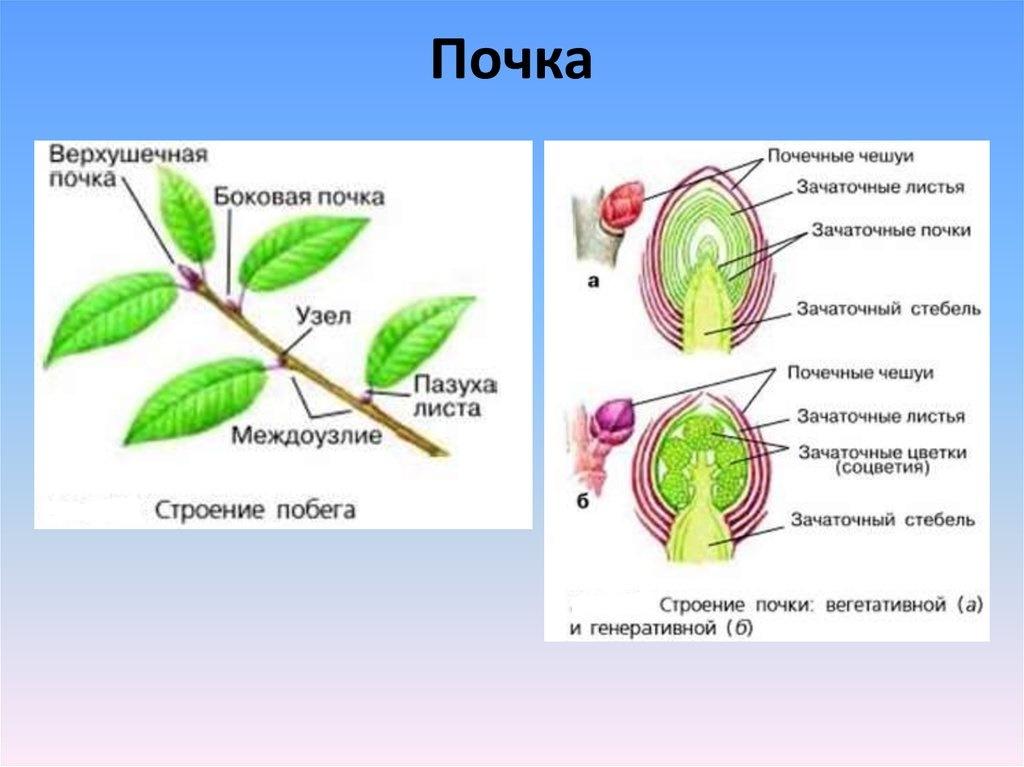 картинка строение почки растения паспорт