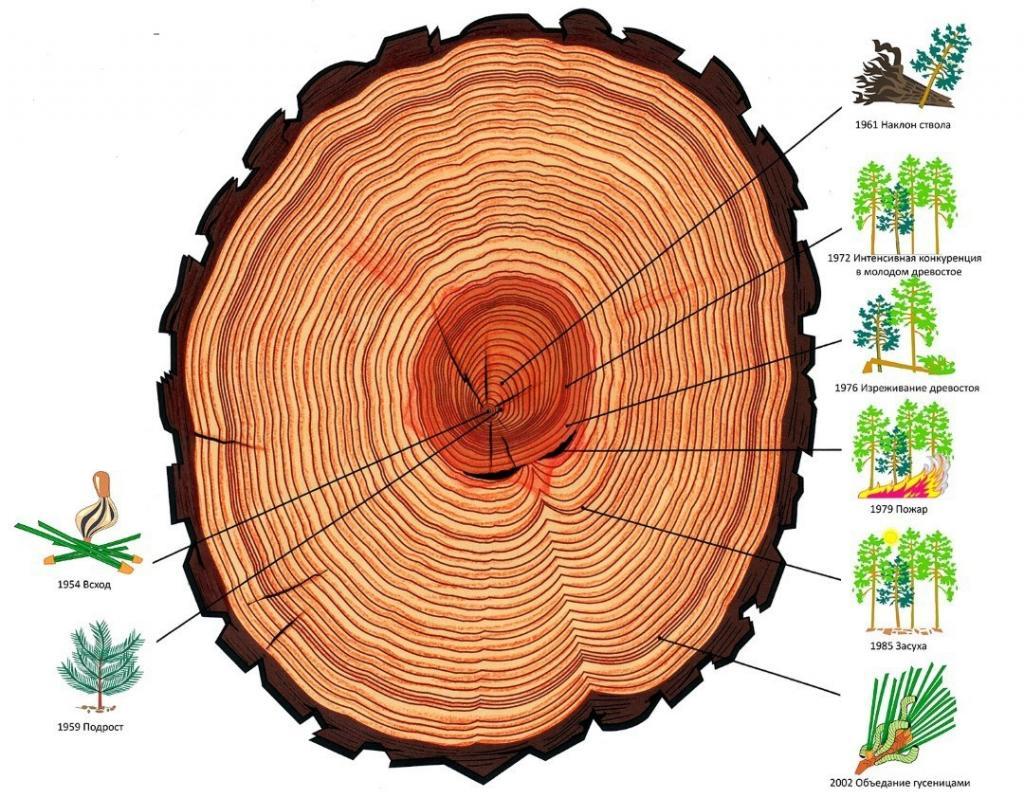 Методы определения возраста дерева