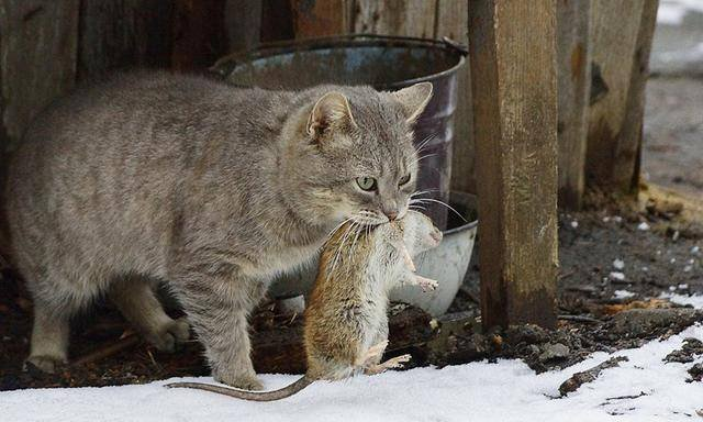 Считается, что это млекопитающее, появившееся в грёзах, имеет практически такое же обозначение, как и мышь.