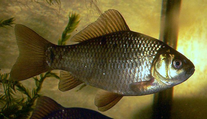 Сколько живут рыбы караси