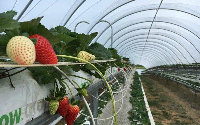 Урожайность клубники: от чего зависит и способы повышения