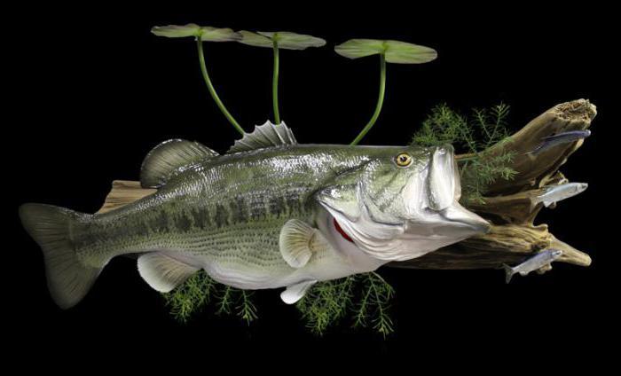 чучела рыб фото