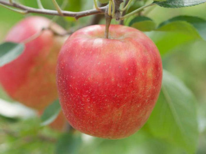 почему не цветет яблоня что делать
