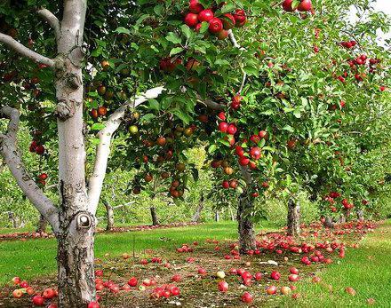 почему яблоня не цветет и не плодоносит