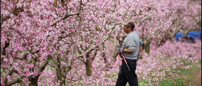 почему не цветет яблоня причины
