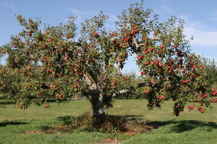 почему не цветет колоновидная яблоня причины