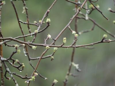почему молодая яблоня не цветет