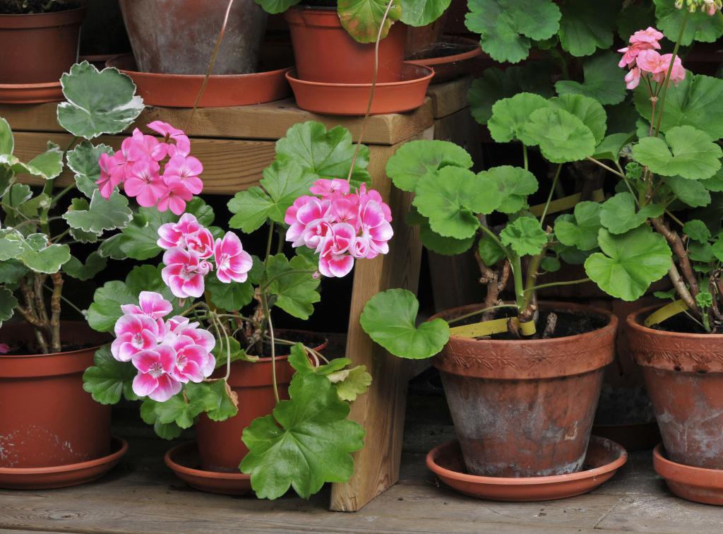 Пеларгония особенности выращивания 69