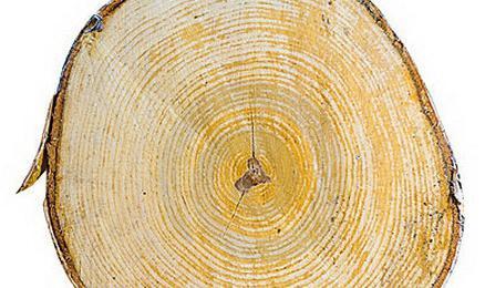 свойства древесины березы