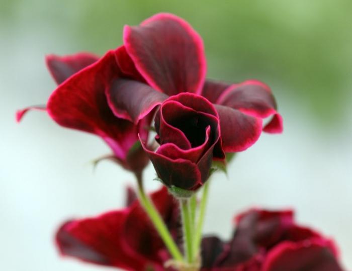 пеларгония herma тюльпановидная