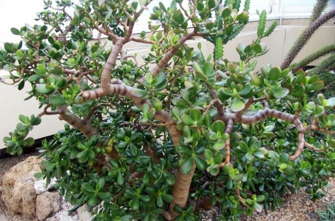 Как называется цветок денежное дерево