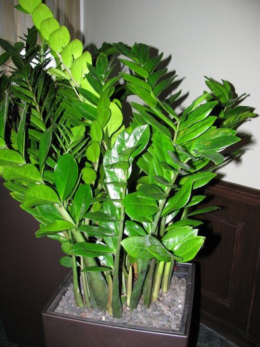 Цветок замиокулькас фото и приметы